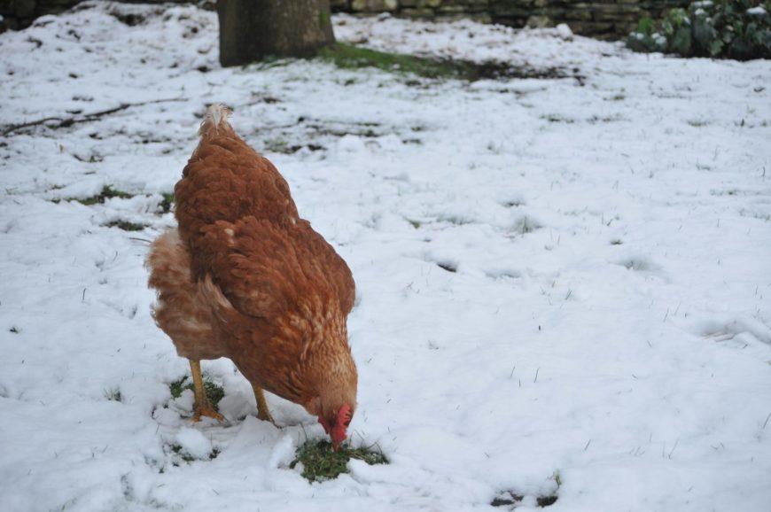 Le galline fanno poche uova? Possiamo aiutarle