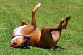 Perché i cani amano rotolarsi nelle cose puzzolenti?